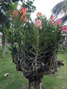 Wood Orchid Vanda Basket With Wire Hanger Orchids Pinterest Orchids Orchids Garden And