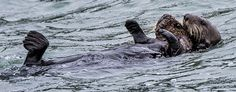 Sea otter mother holds her very large pup - September 11, 2015