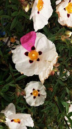 Cistus blooms with natural variation of a splash of pink