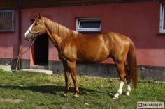 Polish Half-Bred Horse - mare Feskada