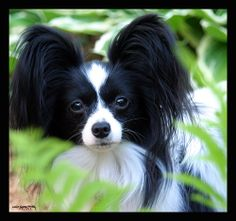 This is my future dog.a Papillon! Its a french dog, means.Little Butterfly! I'm naming my little Papillon. little-of-everything-but-mostly-cuteness Cute Little Dogs, I Love Dogs, Beautiful Dogs, Animals Beautiful, Papillion Dog, Papillon Puppies, Pet Dogs, Dog Cat, Doggies