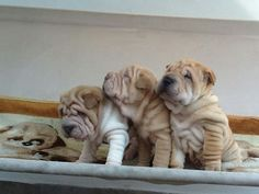 3 cuties http://facebook.com/ILoveSharpeiDogs