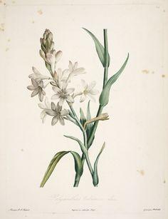 gravures botanique Rousseau - gravures botanique Rousseau - 137 polyanthes tuberosa - polyanthe tubereuse - Gravures, illustrations, dessins, images