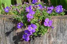 Wordless Wednesday: Proven Winners Madly® Blue Violet Rock Cress