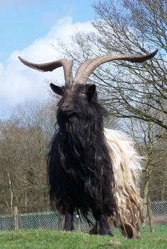 https://flic.kr/p/bTAuq   wallische bok   this goat feels he's in charge of the neighbourhood.  for as long it is about the other animals, he's right.