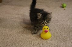Clark, adopted from Animal Rescue League of Iowa, Inc. - Des Moines, IA: Clark is quacking me up !