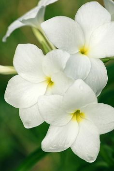 61 best flowers of hawaii images on pinterest beautiful flowers plumeria love the smell mightylinksfo