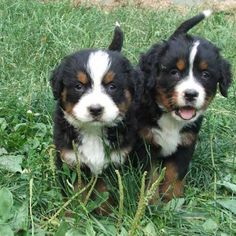 a bigger version of Rugby. Baby Puppies, Baby Dogs, Cute Puppies, Pet Dogs, Dogs And Puppies, Dog Cat, Doggies, Cute Small Animals, Animals And Pets