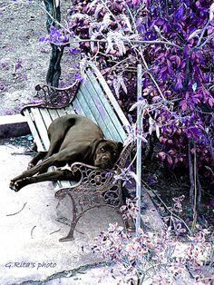 My Lucrezia...Cane Corso. #dog #garden #nature