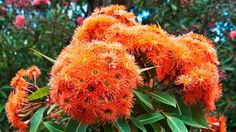 Add some true-blue Aussie colour to your garden with these blooming beauties and foliage-friendly plants Flora Flowers, Bunch Of Flowers, Hindu Deities, Flower Garlands, Chrysanthemum, Native Plants, Hibiscus, Nativity, Grass