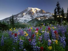 Lupine and Mt. Ranier