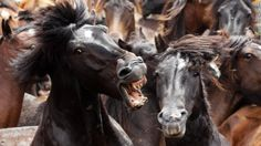 2014: July 6: Two horses fight during the Rapa das Bestas, or shearing of the beasts, in Sabucedo, Spain. During the four-day festival, wild horses are rounded up and wrestled to the ground to have their manes and tails sheared.