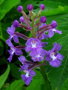 This is small purple-fringed orchid. for more information: plants.usda.gov/java/profile?symbol=PLPS2