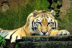 #photography #animals #tiger