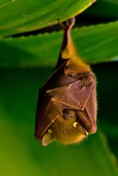 A bat peeking . A Fruit Bat hanging out Nature Animals, Animals And Pets, Baby Animals, Funny Animals, Cute Animals, Beautiful Creatures, Animals Beautiful, Hello Beautiful, Funny Bird