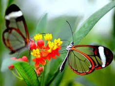 borboletas transparentes - Pesquisa Google