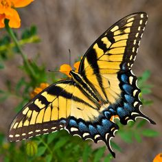 tiger hawk moth - Google Search