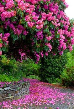 Rhododendron tree I think BEAUTIFUL wonder if will grow on Perth Flowering Trees, Trees And Shrubs, Blooming Trees, My Secret Garden, Parcs, Dream Garden, Pretty Flowers, Beautiful Gardens, Beautiful Roses