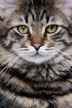 Frumuseţe pisicească.