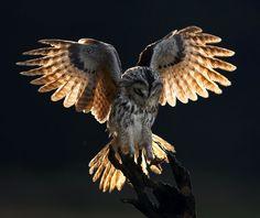 owl in flight - photo by Martin Mecnarowski Owl Photos, Owl Pictures, Owl Bird, Pet Birds, Strix Aluco, Owl Wings, Owl Artwork, Tawny Owl, Beautiful Owl