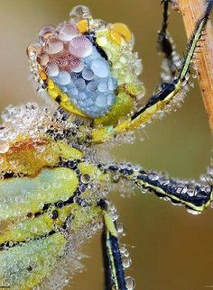 Insect Dew...