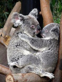 two cute koalas kissing
