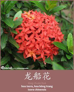 龙船花 - lóngchuánhuā - hoa Ixora, bông trang - Ixora chinensis