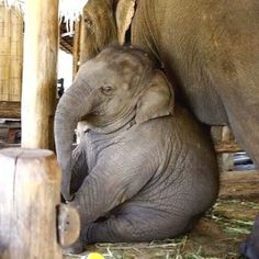 The fatness is just too CUTE! ❤️❤️ - Sarah Gierlowski - The fatness is just too CUTE! ❤️❤️ The fatness is just too CUTE! Cute Baby Animals, Animals And Pets, Funny Animals, Wild Animals, Beautiful Creatures, Animals Beautiful, Elephas Maximus, Save The Elephants, Baby Elephants