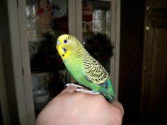 my baby parakeet  Mr. Peepers as of   3-24-12