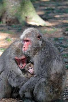 Japanese macaque family #Makaken #Affenberg #Kaernten #Villach Japanese Macaque, Illustration, Animals, Villach, Pictures, Animales, Animaux, Animal, Illustrations
