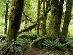 Photo: Moss-covered trees in the Hoh River Valley's temperate rain forest
