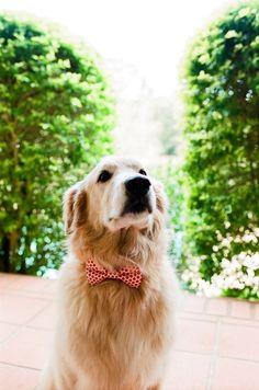 bowtie pup