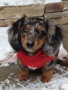 Long haired Dapple Dachshund puppy