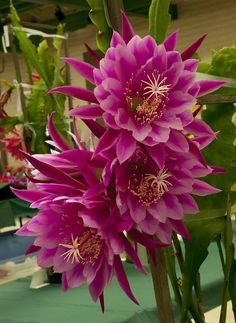 Epiphyllum Origami - Gardening For You