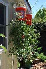 Although traditionally tomato and cucumber plants are most commonly grown upside down, a wide assortment of plants can benefit from upside-down gardening, from vegetables to herbs and a variety of flowers.
