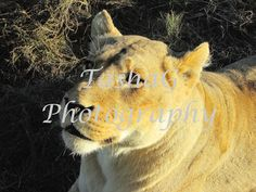 White Lioness on Game Drive or Safari in South Africa Animal Photography Canvas or Print