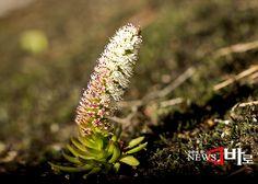 <<좀바위솔(한탄강에서)>> 잎사귀가 투툼하여 장기간 비가 내리지 않아도 스스로 수분을 공급 하면서 척박한 환경에서 서식을 하는 식물로 강원도 철원 한탄강 바위위에서 서식을 하고 있다. 하지만 해가 갈수록 그 개체수가 줄어만 간다. (뉴스바로 2013. 10. 24.)