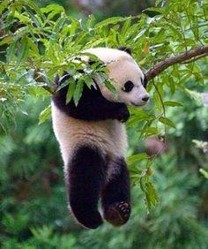 pandas love to hang in trees!