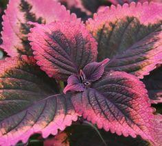 coleus inky pinky