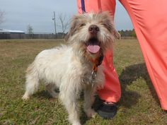 Meet Penny, an adoptable Wirehaired Terrier looking for a forever home. If you're looking for a new pet to adopt or want information on how to get involved with adoptable pets, Petfinder.com is a great resource.