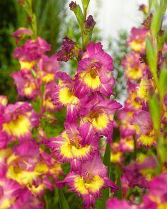 Gladiolus Far West