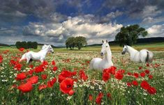 white horses in red poppies Beautiful World, Beautiful Gardens, Beautiful Flowers, Beautiful Places, Meadow Flowers, Wild Flowers, Landscape Photography, Nature Photography, Nature Landscape