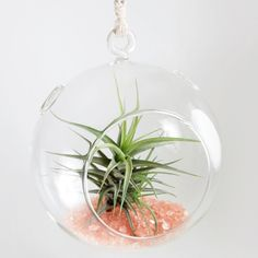 This beautiful yet hardy Air Plant terrarium adds a bit of glamour in any living space. It can be hung or set on the table. For long term decoration, place this terrarium in any bright room with indir