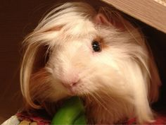 This piggies little side swoop of hair is precious! ^_^
