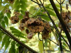 Dwuskrzydlak chiński - Dipteronia sinensis