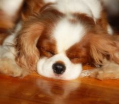 Adorable! Cavalier King Charles spaniel.