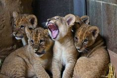 Omaha Zoo Lion Cubs Get Named http://www.zooborns.com/zooborns/2013/04/update-omaha-zoo-lion-cubs-get-named-.html