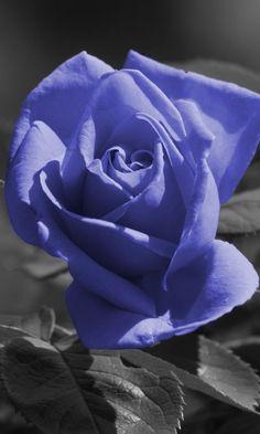 480x800 Wallpaper Rose Flower Blue Black White Frame