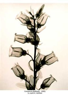 The X-Ray Art of Photographer Judith K McMillan | Campanula (Bellfower)