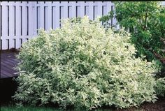 A Bailey Nurseries introduction, this compact selection of Variegated Dogwood provides beautiful variegated foliage in summer and attractive red twigs in winter. Its finer textured, fuller, more compact form lends itself to use in smaller planting areas. Red Shrubs, Shade Shrubs, Shade Trees, Flowering Shrubs, Trees And Shrubs, Landscape Concept, House Landscape, Landscape Plans, Garden Shrubs